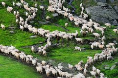 Flock of sheep on the mountains in Romania. Herd of sheep in the Romanian Mountains top view Stock Images
