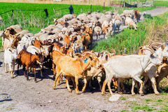 Flock of sheep on the move goes to pasture Stock Images