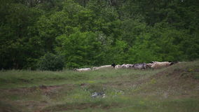 Flock of sheep moving stock video