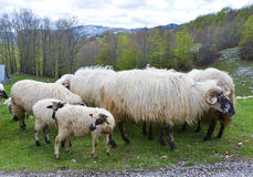 Flock of sheep, National park Durmitor at early spring, Montenegro Royalty Free Stock Images