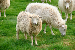 Flock of sheep. In nature Royalty Free Stock Photo