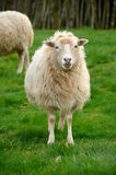 Flock of sheep. In nature Royalty Free Stock Images