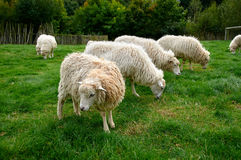 Flock of sheep. In nature Royalty Free Stock Photos