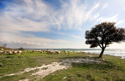 Flock of sheep near the Aegean sea, Gallipoli Stock Image