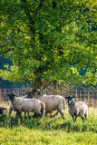 Flock of sheep near forest Stock Photo