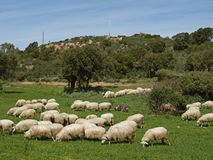 Flock of sheep near Gennamari, Sardinia Stock Images