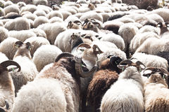 Flock of sheep near Havelte, Holland Royalty Free Stock Photo