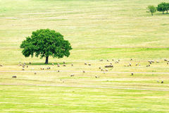 Flock of sheep near an oak Royalty Free Stock Photo
