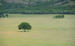 Flock of sheep near an oak Stock Image