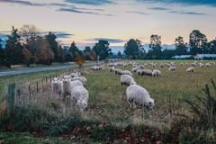 Flock of sheep in New Zealand royalty free stock photo