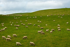 Flock of Sheep - New Zealand Royalty Free Stock Photos
