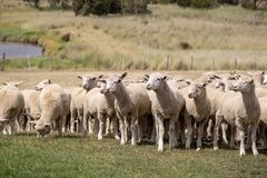 Flock of Sheep - New Zealand Royalty Free Stock Photo