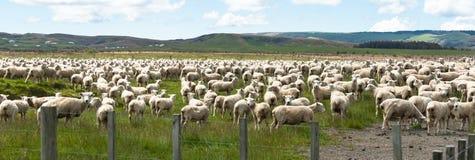 Flock of sheep. New Zealand panorama Royalty Free Stock Image