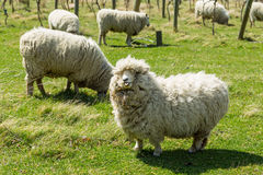 Flock of sheep in New Zealand Stock Image