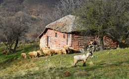 Flock of sheep. Flock of sheep next to old Serbian traditional huts Stock Photos