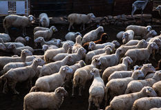Flock of sheep. Nice village in Bitola Macedonia Stock Photo