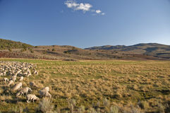 Flock of sheep in open landscape farm scenery Stock Photo