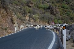 Flock of sheep on the road Stock Photo