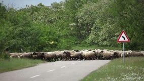 Flock of sheep passes asphalt stock video footage