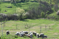 A flock of Sheep on the Pasture. A flock of grazing sheep Royalty Free Stock Photo