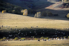 A flock of sheep in pasture Stock Photos