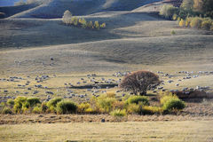 A flock of sheep in pasture Stock Images
