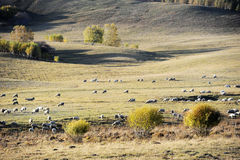 A flock of sheep in pasture Royalty Free Stock Photography