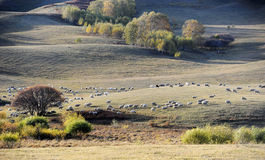 A flock of sheep in pasture Stock Image