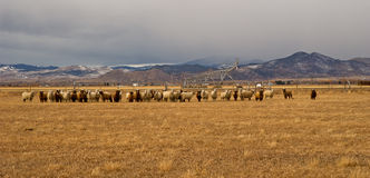 A flock of sheep in a pasture in the mountains of Montana Stock Image