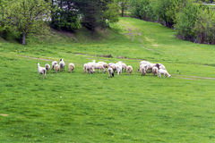 Flock of sheep on the pasture Royalty Free Stock Photography