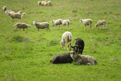 Flock of sheep pasturing on green grass Stock Photo