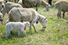 Flock of sheep pasturing on green grass Royalty Free Stock Photo