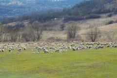 Flock of sheep pasturing Stock Image
