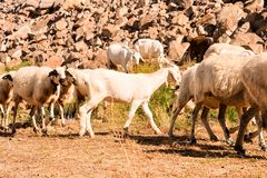 Flock of sheep. Photo picture flock of sheep in central spain stock image