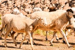 Flock of sheep. Photo picture flock of sheep in central spain stock photo