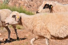Flock of sheep. Photo picture flock of sheep in central spain royalty free stock image