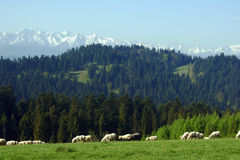 Flock of sheep in Pieniny mountains Royalty Free Stock Image