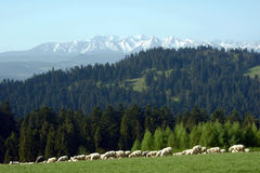Flock of sheep in Pieniny mountains Royalty Free Stock Photography