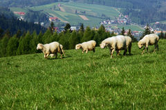 Flock of sheep in Pieniny mountains Stock Images
