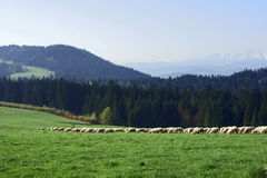 Flock of sheep in Pieniny mountains Stock Photo