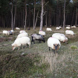 Flock of sheep and pine forest Royalty Free Stock Images