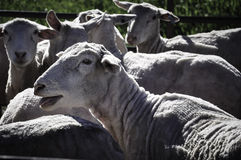 A flock of sheep. Royalty Free Stock Photos