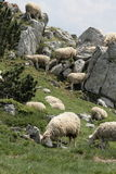 Flock of Sheep in Pyrenees Royalty Free Stock Photos