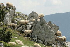 Flock of Sheep in Pyrenees Stock Photos
