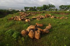 Flock of sheep resting Royalty Free Stock Image