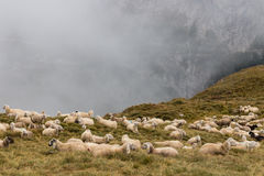 Flock of sheep resting Stock Image