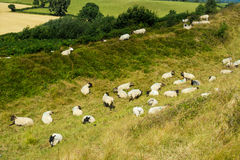 Flock of sheep resting on a hot summer day Royalty Free Stock Photos