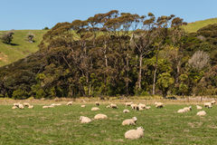 Flock of sheep resting on meadow Royalty Free Stock Photos