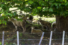 Flock of sheep resting under a tree Royalty Free Stock Image