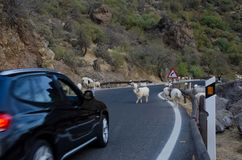 Flock of sheep on the road and car waiting Royalty Free Stock Image